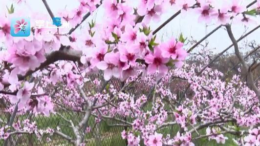【视频】桃花朵朵开,我在圈椅等你来…… 自媒体