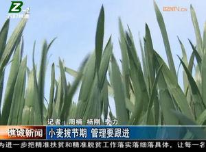 小麦拔节期  管理要跟进 自媒体