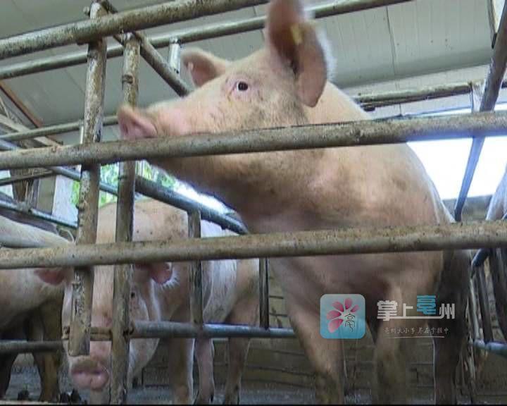 【视频】猪肉涨价了!涨了多少?还会涨吗... 自媒体