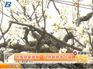老梨树新梨树 认养梨树有口福 自媒体